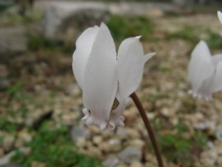 Cyclamen_hederifolium01.jpg