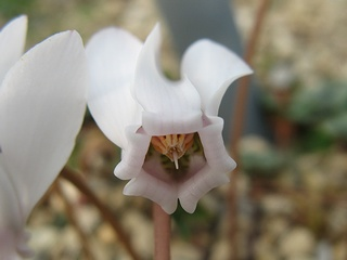 Cyclamen_hederifolium03.jpg