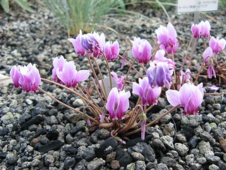 Cyclamen_hederifolium08.jpg